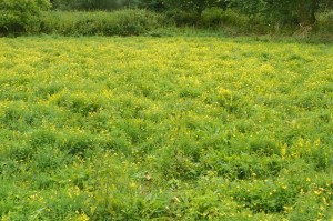 Wildflower meadow in summer, a sea of Bird's-foot-trefoil